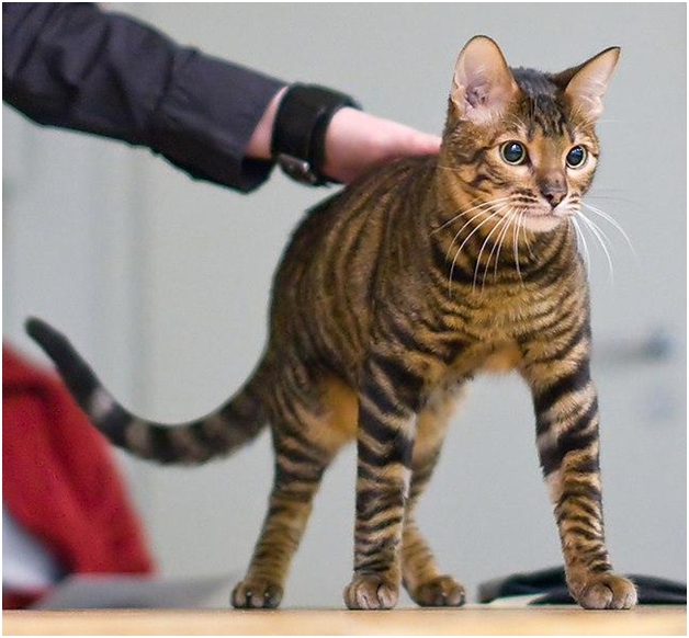 The most popular breeds of Cat in the UK are…